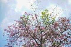 Tabebuia, fleur rose et ciel bleu Photos libres de droits
