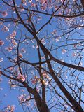 Tabebuia Stock Images