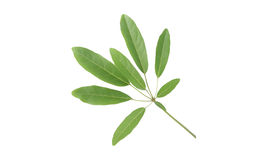 Tabebuia Leaves Royalty Free Stock Photo