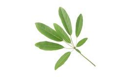 Tabebuia Leaves Royalty Free Stock Photo