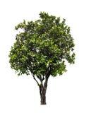 Tabebuia Pallida tree Stock Photos