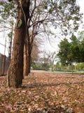 Tabebuia parkerar in Thailand Royaltyfria Foton
