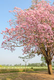 Tabebuia or Pink trumpet blossom tree Royalty Free Stock Image