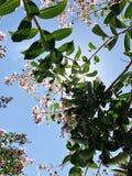 Tabebuia rosea是桃红色花neotropical树和蓝天 共同的名字桃红色喇叭树,桃红色poui,桃红色tecoma 免版税图库摄影