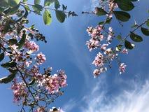 Tabebuia rosea是桃红色花neotropical树和蓝天 共同的名字桃红色喇叭树,桃红色poui,桃红色tecoma 免版税库存照片