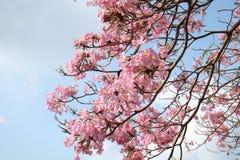 Tabebuia rosea 免版税库存图片