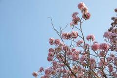 Tabebuia rosea 免版税图库摄影