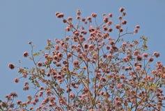 Tabebuia rosea 库存图片