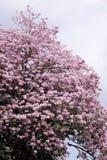 Tabebuia rosea花 库存照片