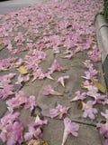 Tabebuia rosea花 免版税库存图片