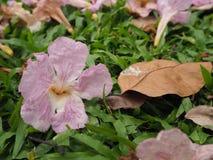Tabebuia rosea花 图库摄影