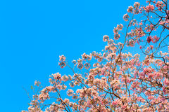 Tabebuia rosea and empty space for text Stock Image