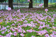 Tabebuia rosea fall in the garden Royalty Free Stock Photos