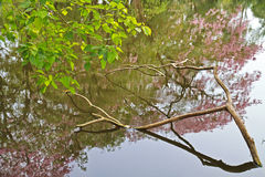 Tabebuia rosea fall in pond Stock Images