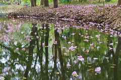 Tabebuia rosea fall in pond Stock Photography