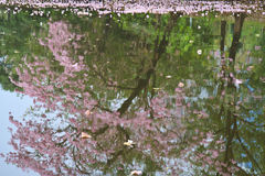 Tabebuia rosea fall in pond Royalty Free Stock Photography