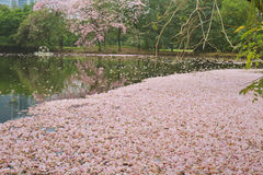 Tabebuia rosea fall in pond Stock Photo