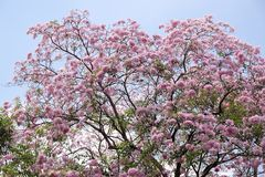 Tabebuia rosea flower. Tabebuia rosea or pink trumpet tree in Thailand Royalty Free Stock Photos