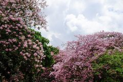 Tabebuia rosea flower. Tabebuia rosea or pink trumpet tree in Thailand stock photography