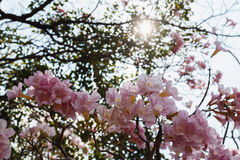 Tabebuia rosea  flower with sunlight Stock Photo
