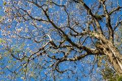 Tabebuia rosea flowered tree in San Jose, Costa Rica stock photos