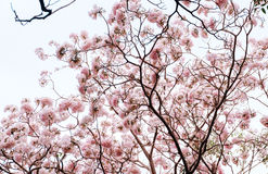 Tabebuia rosea. Fresh Pink Tabebuia on the tree in the garden stock images