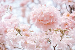Tabebuia rosea. Fresh Pink Tabebuia on the tree in the garden royalty free stock photos
