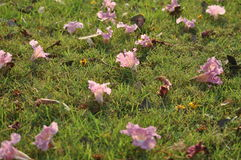 Tabebuia rosea on the ground. Pink  Trumpet or Tabebuia fall on the green field Royalty Free Stock Image