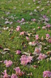 Tabebuia rosea on the ground. Pink  Trumpet or Tabebuia fall on the green field Royalty Free Stock Photo