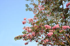 Tabebuia rosea Stock Photos