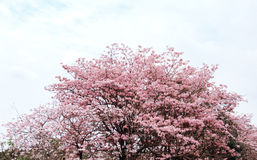 Tabebuia rosea in park. Fresh Pink Tabebuia on the tree in the garden royalty free stock photography
