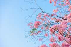 Tabebuia rosea is a Pink Flower neotropical tree and blue blue s. Ky. common name Pink trumpet tree, Pink poui, Pink tecoma, Rosy trumpet tree, Basant rani Royalty Free Stock Photos