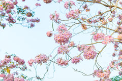 Tabebuia rosea is a Pink Flower neotropical tree and blue sky. Common name Pink trumpet tree, Pink poui, Pink tecoma, Rosy trumpet tree, Basant rani Stock Photo