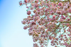 Tabebuia rosea is a Pink Flower neotropical tree and blue sky. Common name Pink trumpet tree, Pink poui, Pink tecoma, Rosy trumpet tree, Basant rani Stock Image