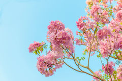 Tabebuia rosea is a Pink Flower neotropical tree and blue sky. Common name Pink trumpet tree, Pink poui, Pink tecoma, Rosy trumpet tree, Basant rani Stock Images