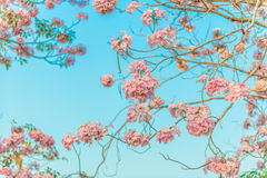 Tabebuia rosea is a Pink Flower neotropical tree and blue sky. Common name Pink trumpet tree, Pink poui, Pink tecoma, Rosy trumpet tree, Basant rani Royalty Free Stock Photos