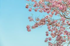 Tabebuia rosea is a Pink Flower neotropical tree and blue sky. Common name Pink trumpet tree, Pink poui, Pink tecoma, Rosy trumpet tree, Basant rani Royalty Free Stock Images