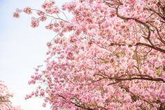 Tabebuia rosea is a Pink Flower neotropical tree and blue sky. Common name Pink trumpet tree, Pink poui, Pink tecoma, Rosy trumpet tree, Basant rani Royalty Free Stock Photography