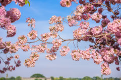 Tabebuia rosea is a Pink Flower neotropical tree and blue sky. Common name Pink trumpet tree, Pink poui, Pink tecoma, Rosy trumpet tree, Basant rani Royalty Free Stock Photo