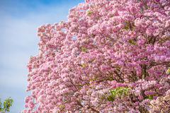Tabebuia rosea is a Pink Flower neotropical tree and blue sky. Common name Pink trumpet tree, Pink poui, Pink tecoma, Rosy trumpet tree, Basant rani Royalty Free Stock Image