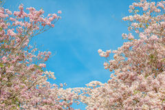Tabebuia rosea is a Pink Flower neotropical tree and blue sky. Common name Pink trumpet tree, Pink poui, Pink tecoma, Rosy trumpet tree, Basant rani Stock Photography
