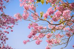 Tabebuia rosea is a Pink Flower neotropical tree and blue sky. Common name Pink trumpet tree, Pink poui, Pink tecoma, Rosy trumpet tree, Basant rani Stock Photos