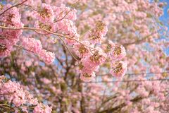 Tabebuia rosea is a Pink Flower neotropical tree. Common name Pink trumpet tree, Pink poui, Pink tecoma, Rosy trumpet tree, Basant rani Stock Images