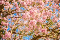 Tabebuia rosea is a Pink Flower neotropical tree. Common name Pink trumpet tree, Pink poui, Pink tecoma, Rosy trumpet tree, Basant rani Royalty Free Stock Images