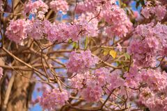 Tabebuia rosea is a Pink Flower neotropical tree. Common name Pink trumpet tree, Pink poui, Pink tecoma, Rosy trumpet tree, Basant rani Stock Photography