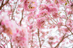 Tabebuia rosea is a Pink Flower neotropical tree. Common name Pink trumpet tree, Pink poui, Pink tecoma, Rosy trumpet tree, Basant rani Royalty Free Stock Photos