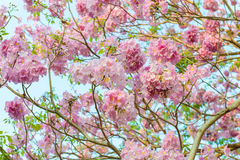 Tabebuia rosea is a Pink Flower neotropical tree. Common name Pink trumpet tree, Pink poui, Pink tecoma, Rosy trumpet tree, Basant rani Stock Photo