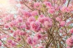 Tabebuia rosea is a Pink Flower neotropical tree. Common name Pink trumpet tree, Pink poui, Pink tecoma, Rosy trumpet tree, Basant rani Royalty Free Stock Photo
