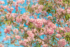 Tabebuia rosea is a Pink Flower neotropical tree. Common name Pink trumpet tree, Pink poui, Pink tecoma, Rosy trumpet tree, Basant rani Stock Photos
