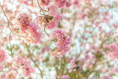 Tabebuia rosea is a Pink Flower neotropical tree. Common name Pink trumpet tree, Pink poui, Pink tecoma, Rosy trumpet tree, Basant rani Royalty Free Stock Image